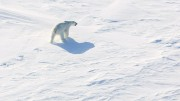 A polar bear on ice.