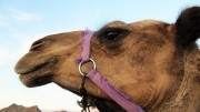 Norwegians stopped with camel meat on border
