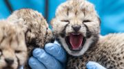 Leopard cubs in Kristiansand Zoo open eyes.