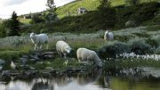 Sheep in the mountains