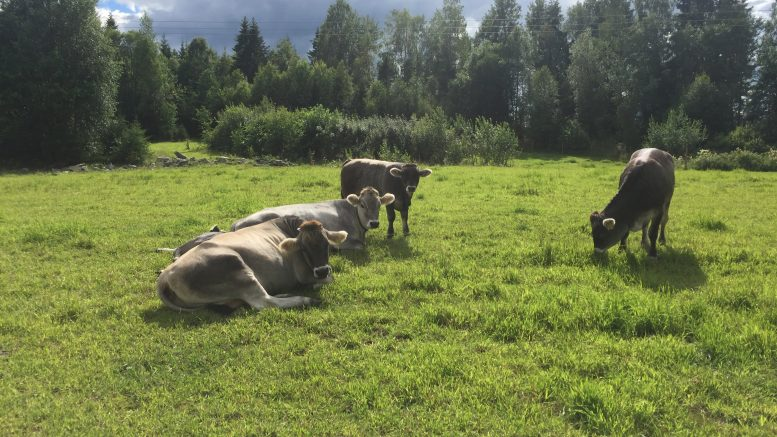 Cows lack of feed