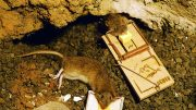 Two dead rats in the traps