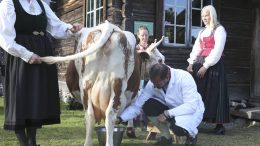 Crown Prince Haakon milks a cow on Dyrskun its 150th anniversary.