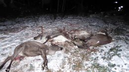 At least 46 reindeer killed
