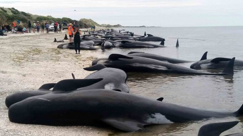 Whales are stranded at Farewell Spit near Nelson, New Zealand