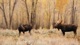 Moose Elk Hunt