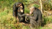 The Chimpanzee Julius. Kristiansand Zoo 100 Best Things To Do In Norway
