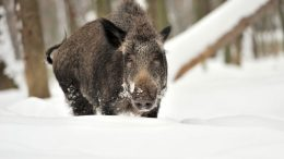 wild boar centre party hunt