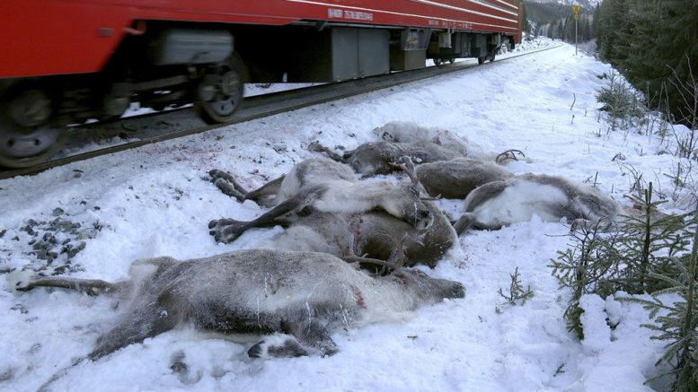 Reindeer Collision Nordland killed Sami