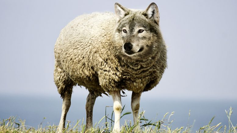 Wolf Culled Trysil Hunt