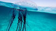 Portuguese man 'o war Jellyfish