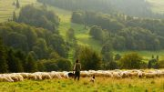 Sheep ,farmer, claims, damages