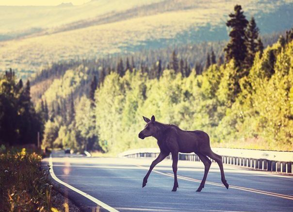 Elk Road King of the forest