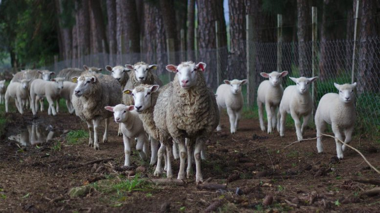 sheep herd predators