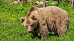 Brown bear Bears