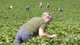 Strawberry pickers from Poland at Egge Gård in Lier.