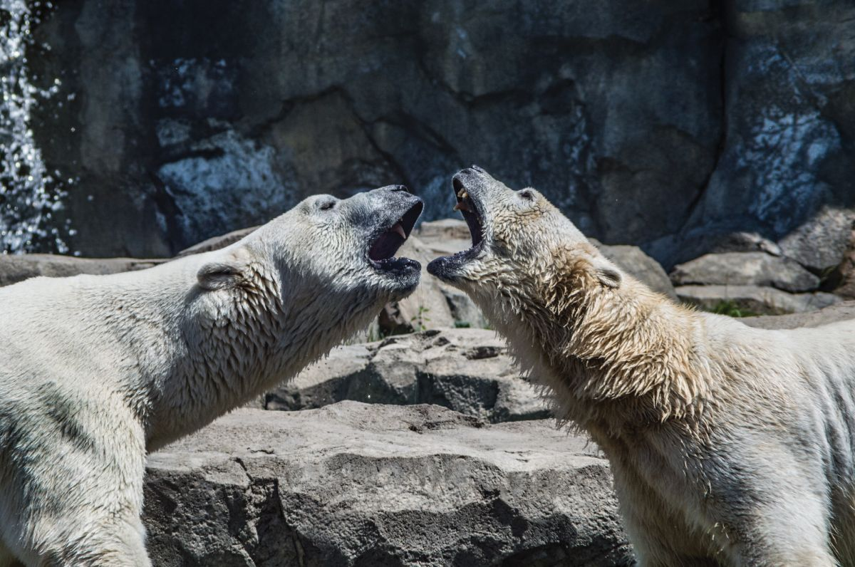 Polar bear faceoff