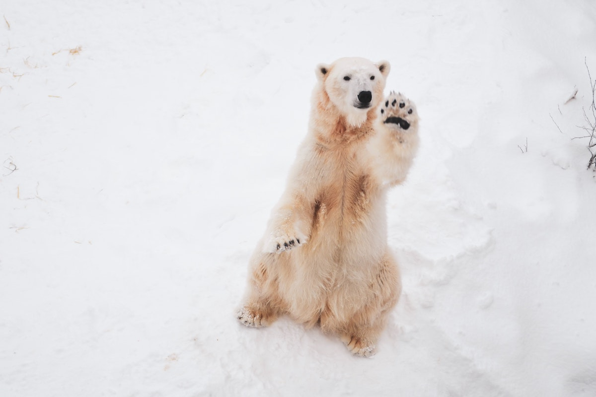Polar bear waving