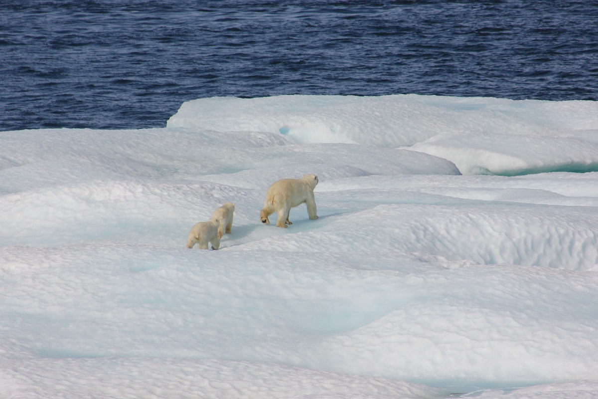 Polar bears: mother and cubs