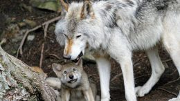 Wolf - wolves