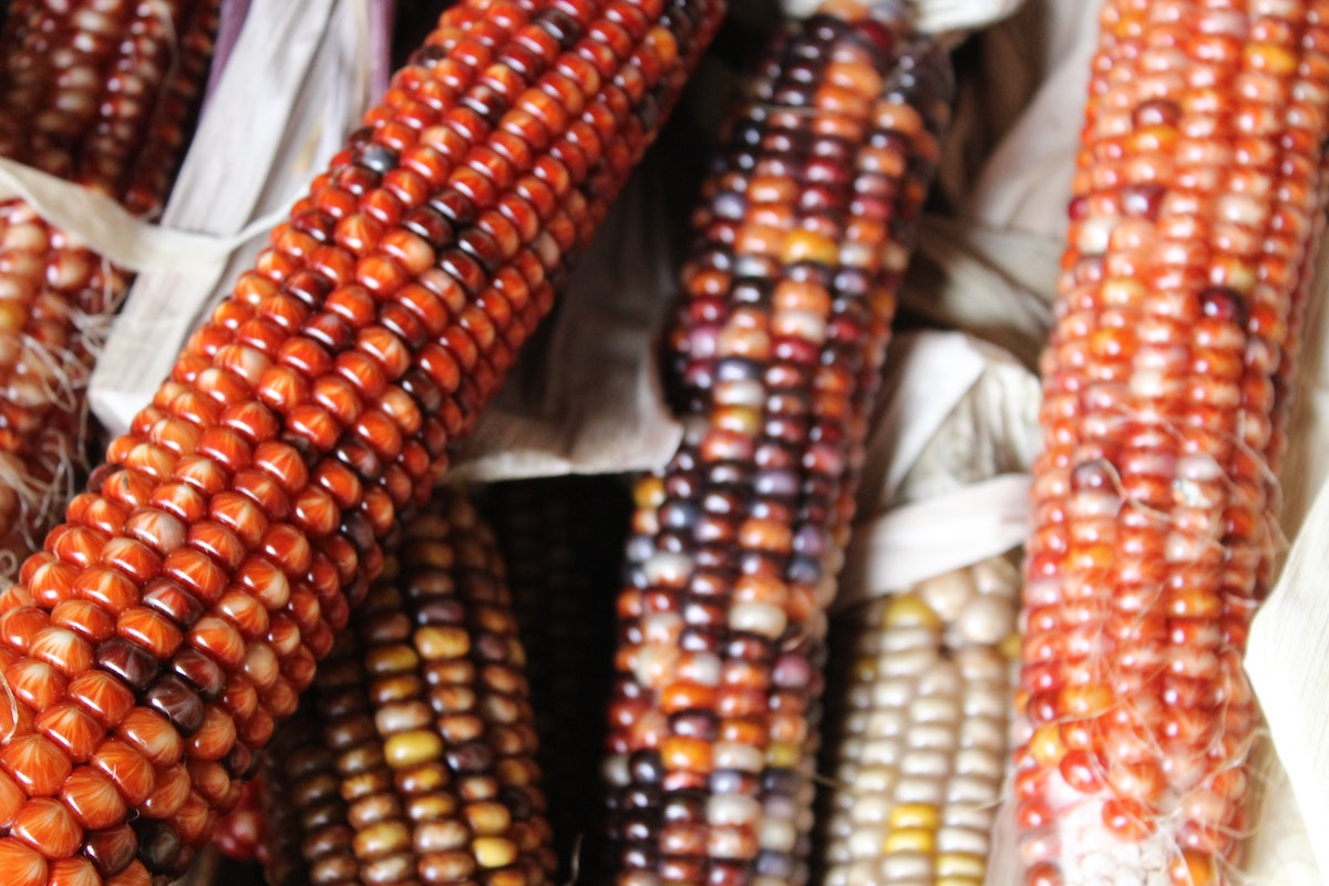 Heirloom corn